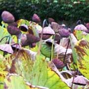 Lotus géants fin septembre à Barbotan